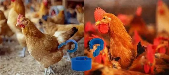 RFID technology applied in Live poultry management